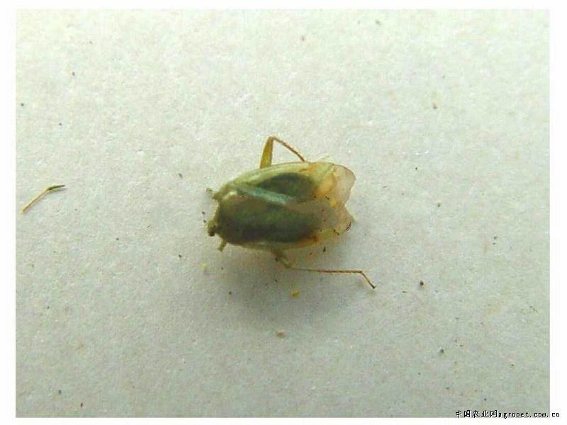 萝卜绿盲蝽