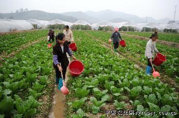 11月15日,全南县南迳镇大田高山蔬菜基地菜农在浇菜.