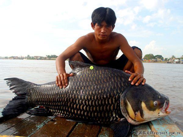 世界最大鱼视频_世界上最大的鱼(组图),水产资讯,水产新闻频道