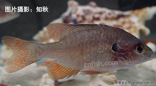 属鲈形目-太阳鱼科的淡水鱼类