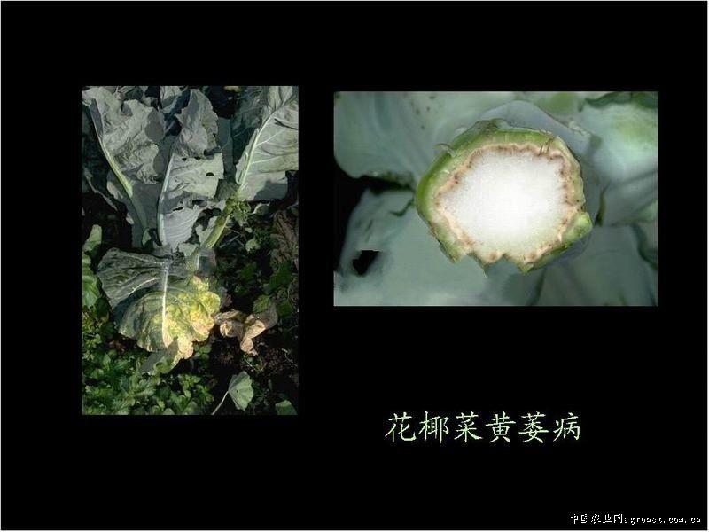 花椰菜黄萎病