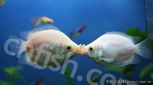 接吻鱼,农业资讯,中国农业网新闻频道