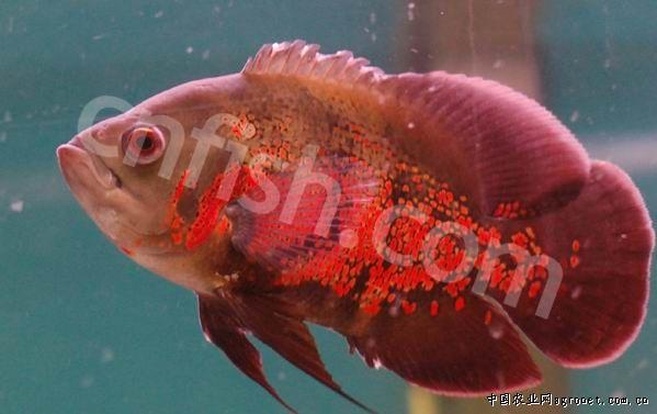 热带观赏鱼 野生进口 帕拉河红花地图6-7cm