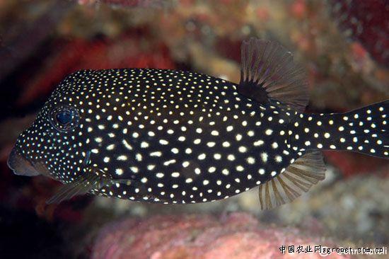 中文名:花木瓜 英文名:White spotted boxfish 学名:Ostracion meleagris 最小水族箱尺寸:200升 饲养难度:困难 饲养要求:盐度 1.020-1.025;酸碱度 8.1-8.4 性情:一定攻击性 水族箱最大成体尺寸:15厘米 珊瑚兼容性:小心 食物要求:杂食 主要产地:印度洋 种属:箱鲀科 也叫蓝箱鲀,黑箱鲀或白点箱鲀。各种名字都是根据其雌雄的颜色来的。雄鱼颜色更鲜艳,灵动的蓝色身体,宽宽的黑色的背像一顶帽子。整个身体被斑点覆盖,黑色上面的白点,蓝色上面的黑点,