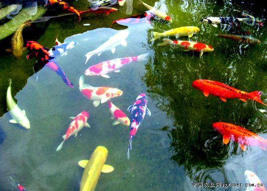身价50万锦鲤鱼将亮相上海宠物大会(图)