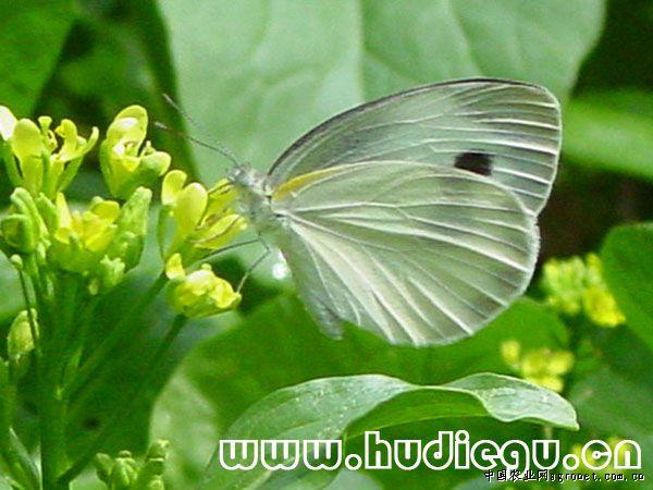 芥蓝菜白蝶