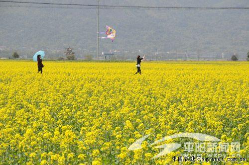 游人在南湖的油菜花田里放风筝.