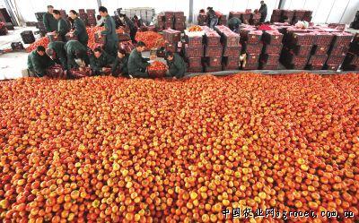 温州网瑞安支站讯 梅屿农产品原产地交易市场位于马屿镇外三甲村