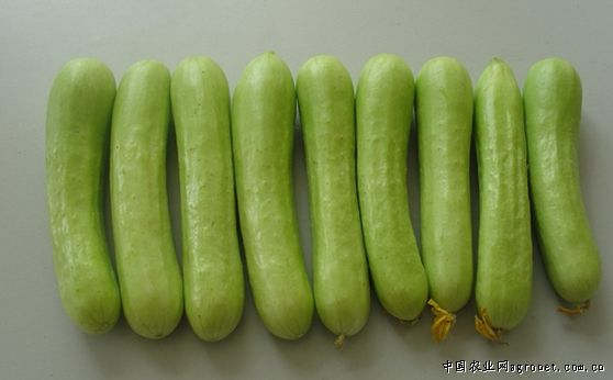 月脂黄瓜:早熟短果白色无刺黄瓜种子