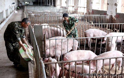 建在风景区的大型养猪场