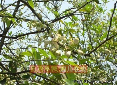 新津柚子树的种植历史可追溯到百年前