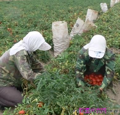 农七师种植结构调整带来的喜悦番茄红了农户乐了(图)