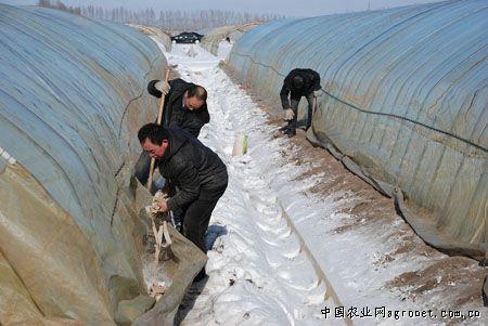 黑龙江绥滨农场清雪扣棚备耕早(
