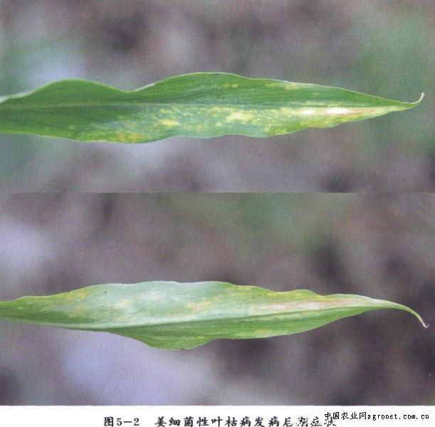 姜细菌性叶枯病