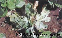 芥蓝细菌软腐