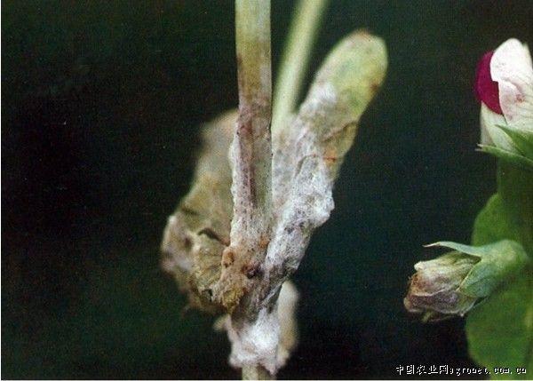 豌豆菌核病