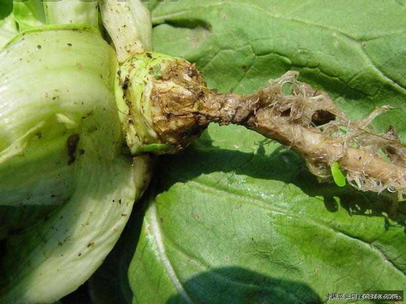 播种白菜详细步骤图片