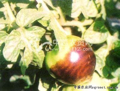 中国 番茄/番茄果实牛眼病...