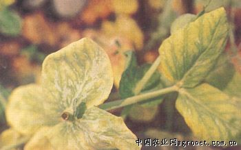 豌豆黄顶病