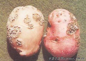 马铃薯粉痴病