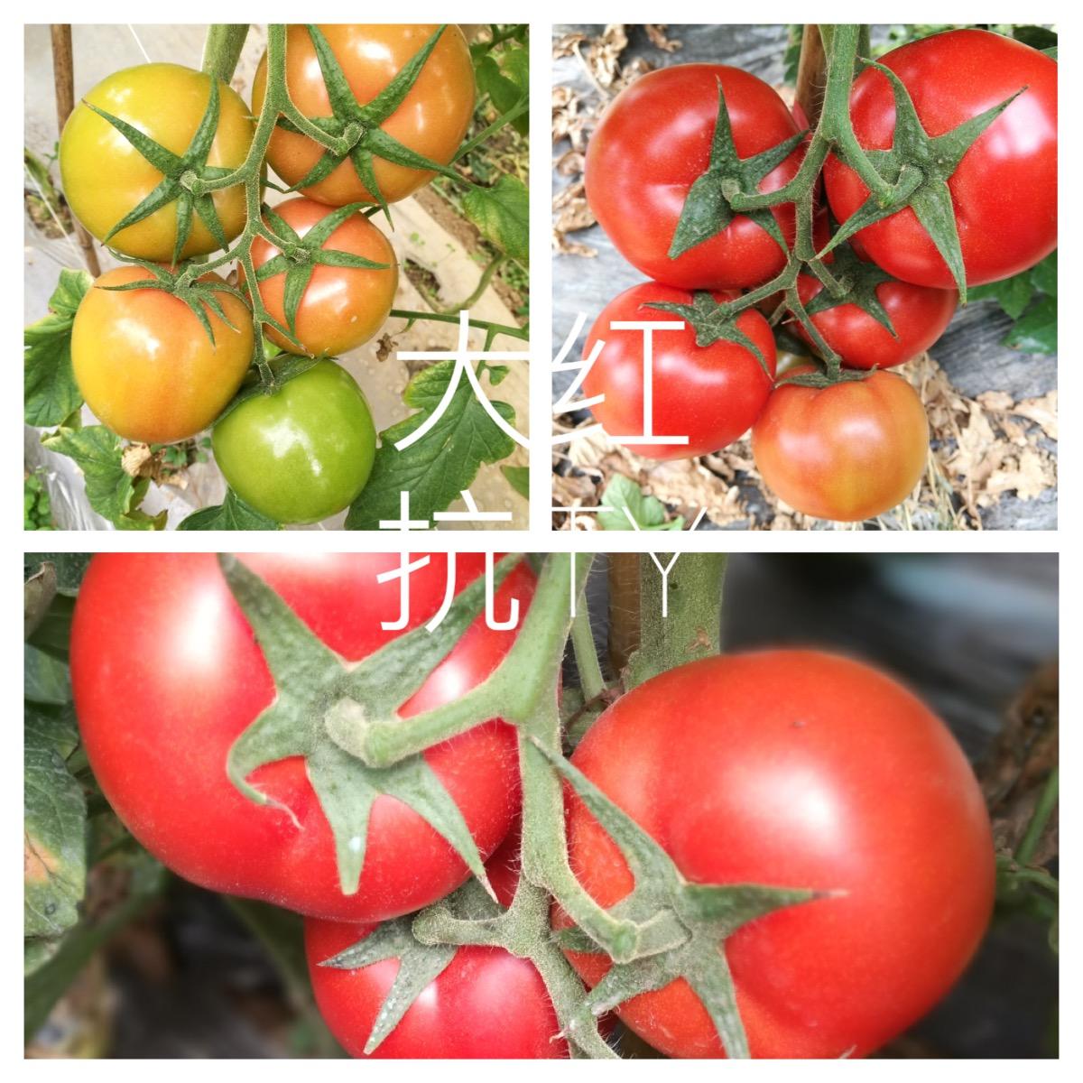 抗TY紅果番茄—番茄種子