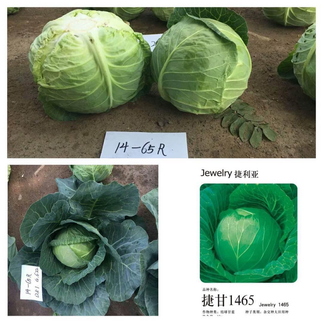 捷甘1465甘蓝种子