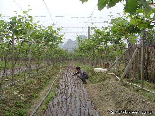 图为葡萄架下套种苗木模式