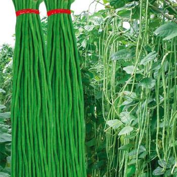供应长豆角豇豆,个人, 中国蔬菜网产品库