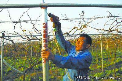 福安赛岐青江村葡萄钢结构大棚加紧施工中(图)