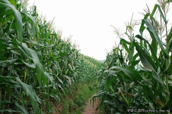 重庆万州区:玉米高产创建示范片丰收在望(图)