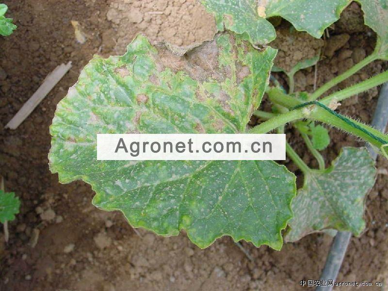 西甜瓜病害_首页 种植技术 >>> 病害图片及治理方法  甜瓜叶枯病 病害图片