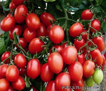 樱桃小番茄_