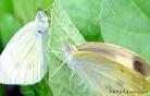 苋菜菜粉蝶