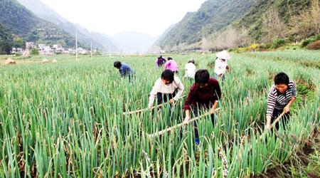 贵州麻江县发展高山冷凉蔬菜助农增收