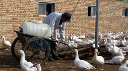 陕西榆林特种珍禽养殖带动农村致富新链条