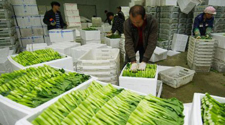安徽省怀远县供港蔬菜喜获丰收