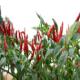 单生红168-辣椒种子