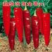 超级改良金塔k1——尖椒种子