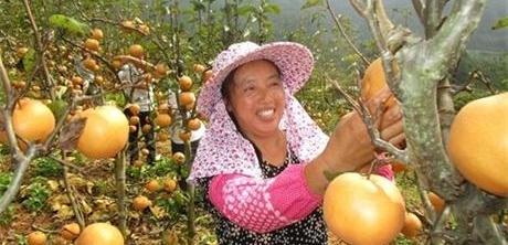 福建武夷山:客溪黄梨进京城 带动村民增收致富