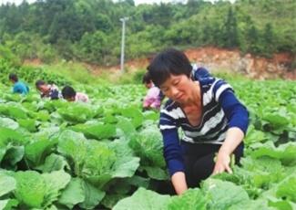 福建:高山蔬菜产量喜人