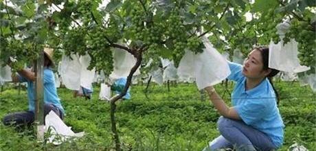 河南光山:葡萄套装纸袋保葡萄品质 促农民增收