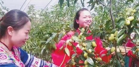 云南峨山蜜枣上市 时间持续1个月