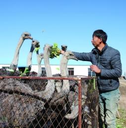 内蒙古:养殖鸵鸟深加工创建特色品牌