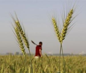 河南小麦主产区丰收在望