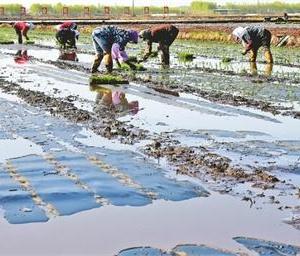 黑龙江:插播有机水稻