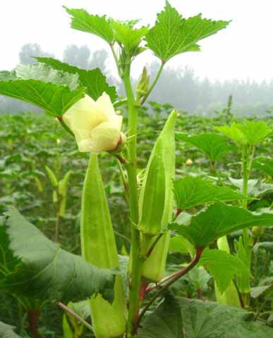 黄秋葵 种子品种田间表现中国蔬菜网种子频道
